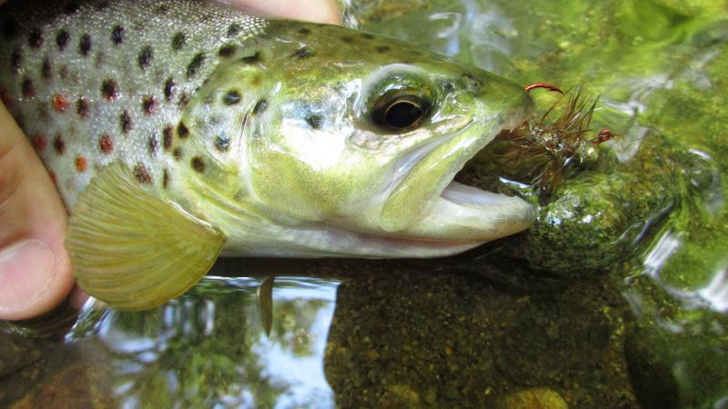 wild brown trout, crayfish jig, crayfish, brown trout, Class A trout waters