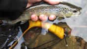 wild brown trout, class A waters, delayed harvest fishing