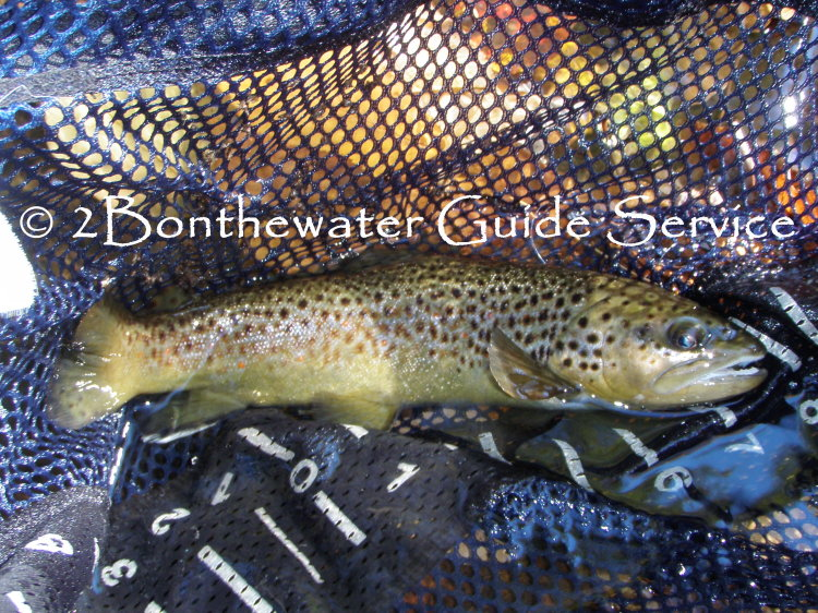 brown trout, fly fishing, emerger, cdc fly pattern, wild brown trout