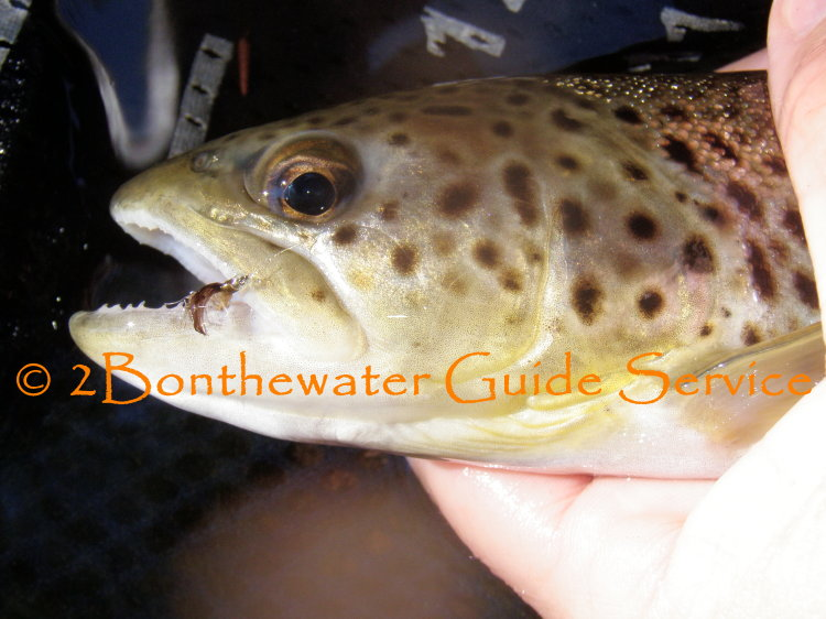 bwo hatch, brown trout, wild trout, emerger