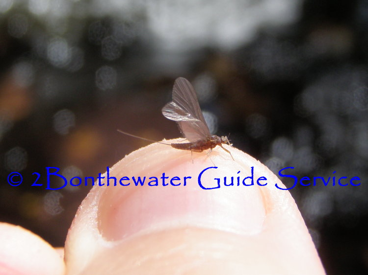 BWO, schuylkill county, dry fly fishing, BWO Hatch chart