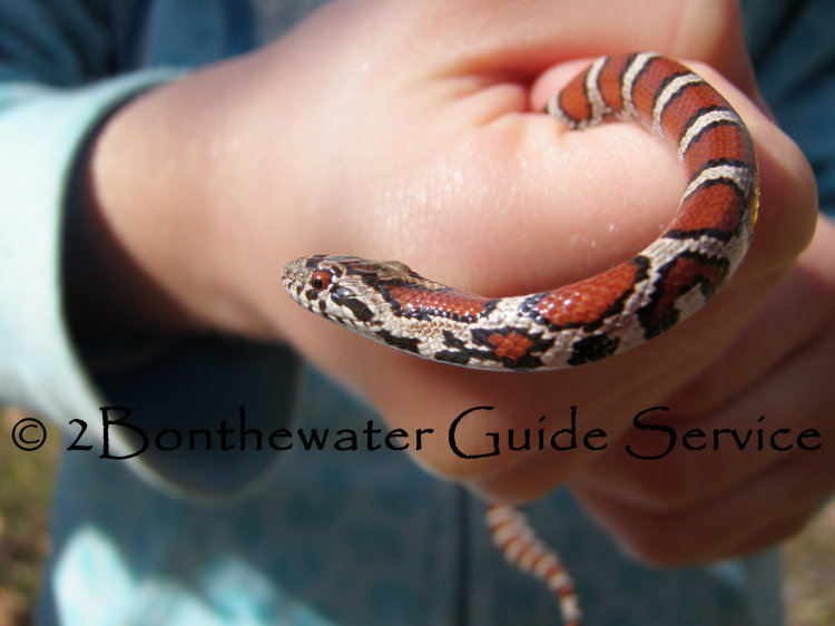 eastern milk snake, fly fishing, creek critters
