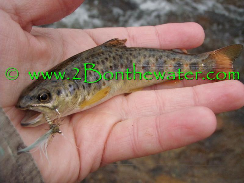 wild brown trout, Quill Gordon, dry fly fishing