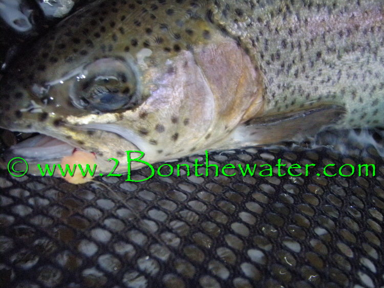 yellow breeches, globug, scud, caddis, rainbow trout