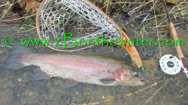 goldend rainbow trout, PA Fly Fishing reports, Hendrickson, mayfly, caddis