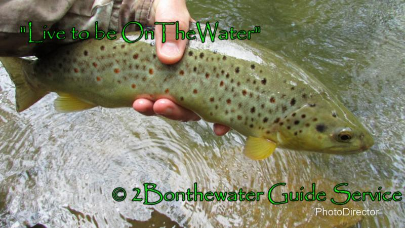 wild brown trout, stonefly nymph, stonefly, pa trout fishing, fly fishing