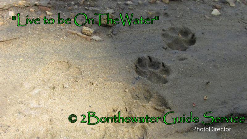 coyote tracks, deer carcass, dry fly fishing, PA fish and Boat