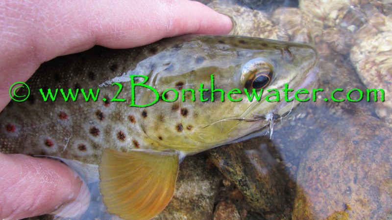wild brown trout, dry fly