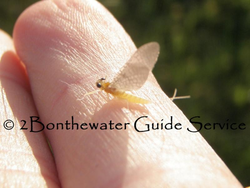 hebe mayfly, mayfly, hebes, hebe hatch, Manatawny Creek, Fly fishing, wild trout