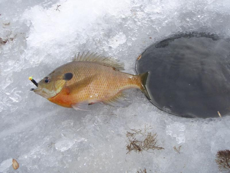 how to clean bluegill quickly