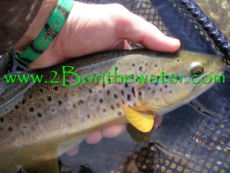 Penns Creek, wild brown trout, sulphur, march brown, emerger, wet fly, grannom