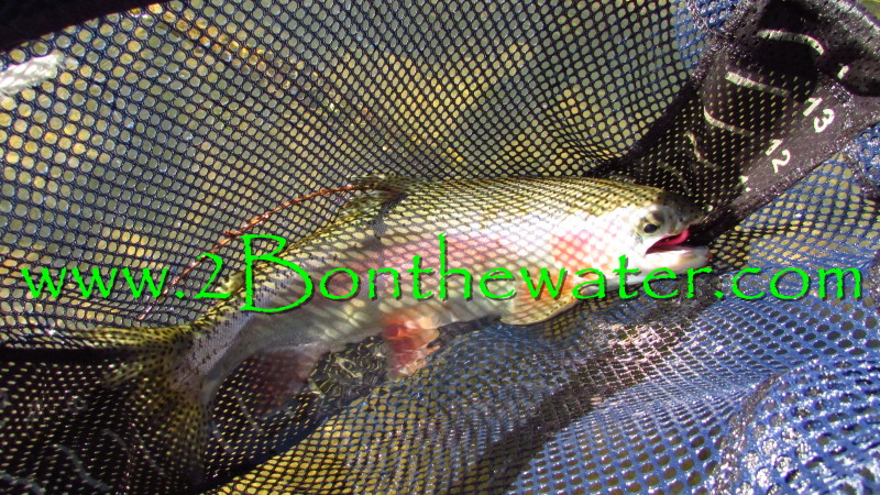 Penns Creek, Rainbow Trout, Rapala, Pink Worm, wild brown trout
