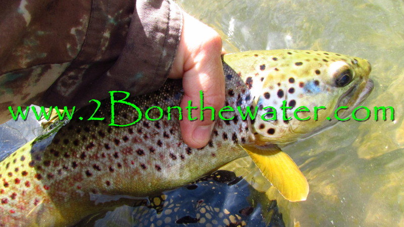 penns creek, wild brown trout, sulphur, march brown, fly fishing