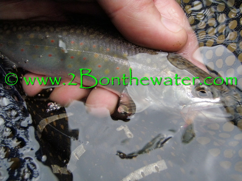 wild brook trout, native brook trout, Penns Creek