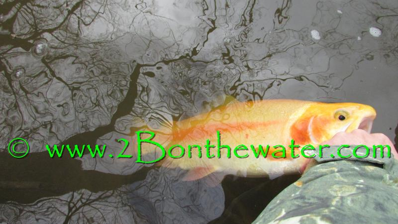 Golden Rainbow Trout, PA Fly Fishing, wet flies, wet fly, hendrickson, Hendo