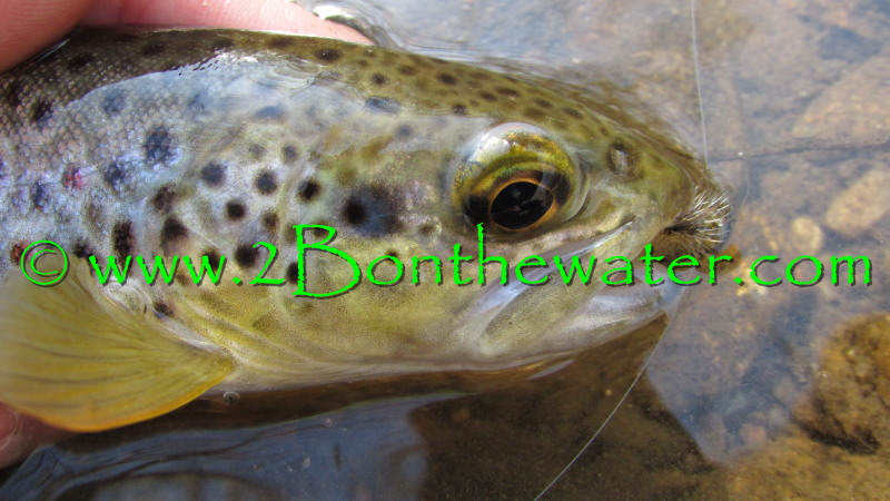 wild brown trout, Berks County, brown trout