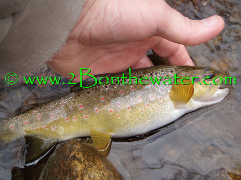 wild brown, fat trout, caddis dry fly, cdc caddis, skitter